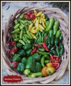 Pepper harvest 8Nov13 SG