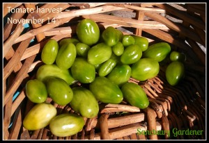 Tomato weed harvest 14Nov13 SG