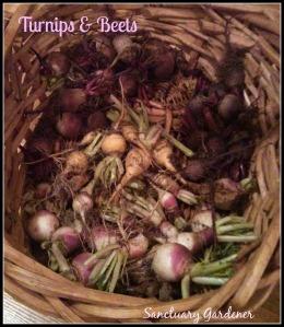 Turnip & beet harvest 24Nov13 SG