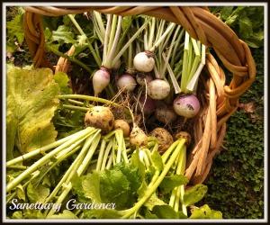 Turnip harvest 10Nov13 SG