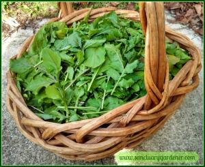 Arugula harvest ~ December 21