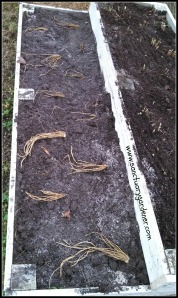 Asparagus roots laid out for planting