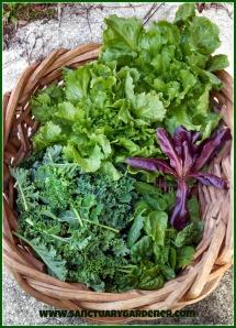 Greens harvest ~ December 21