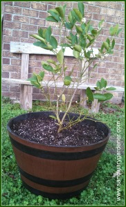 Key lime tree transplanted
