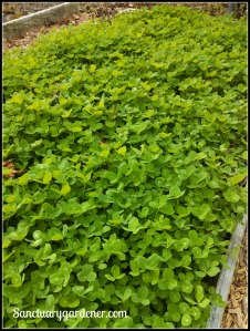 Red clover cover crop in the sunnier bed