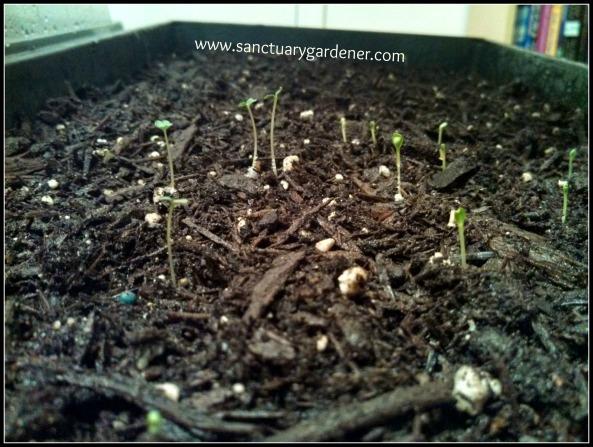 Baby lettuce seedlings ~ 3 days post planting