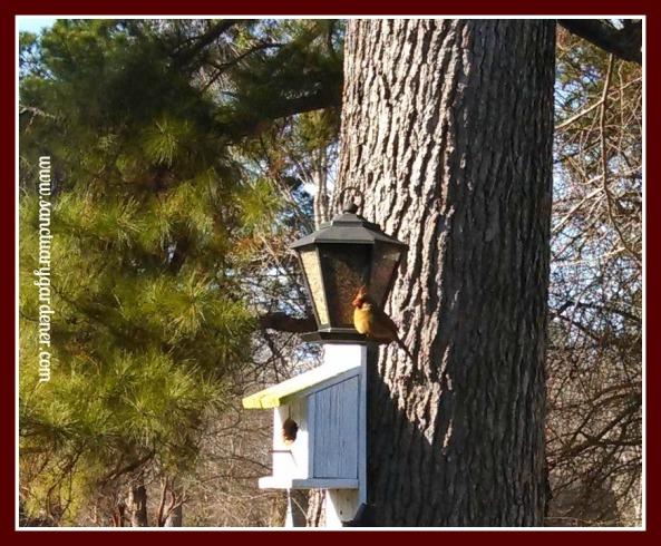Female cardinal on my bird feeder