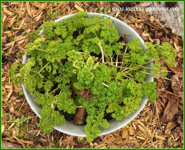 Curly parsley survived the Polar Vortex