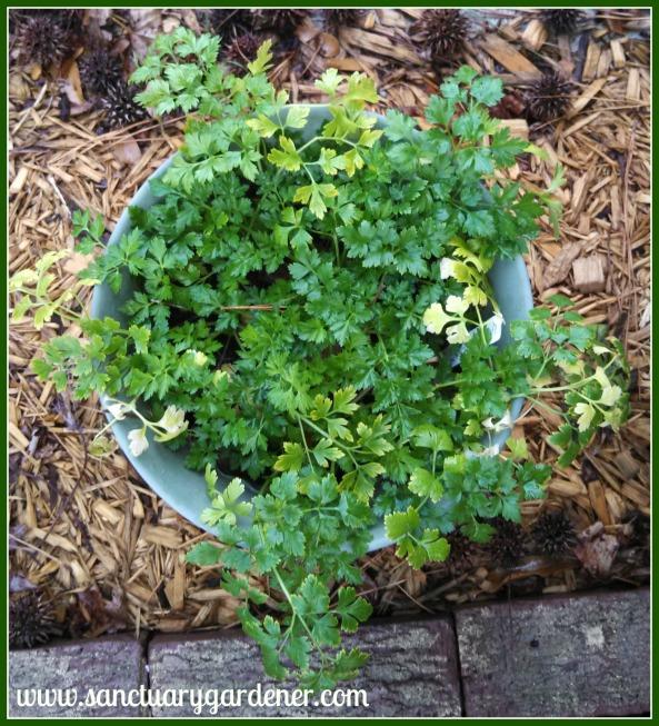 Flat parsley survived the Polar Vortex