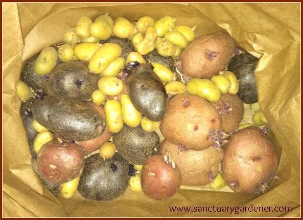 Seed potatoes growing eyes