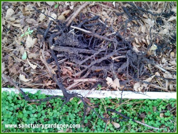 Dead raspberry canes