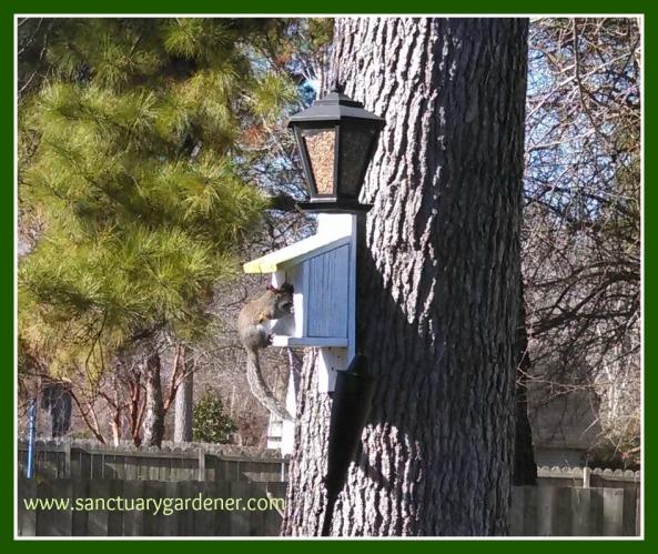 Squirrel on birdhouse Jan14 SG
