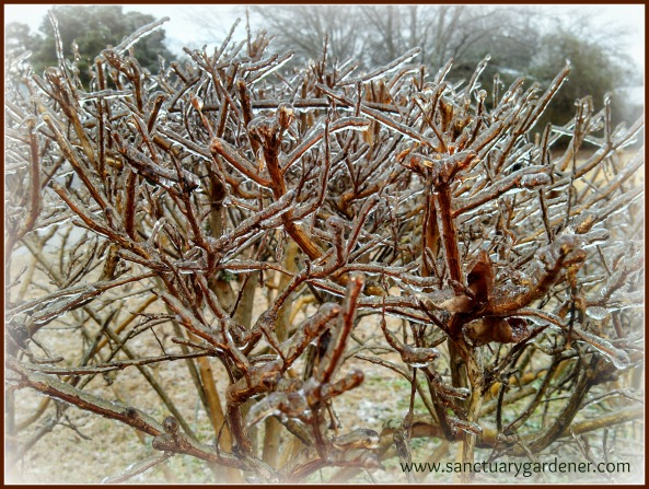 Winter Storm Leon -  ice laden bushes on the side of my house
