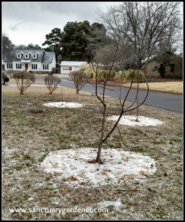 Winter Storm Leon ~ fruit trees in my front yard