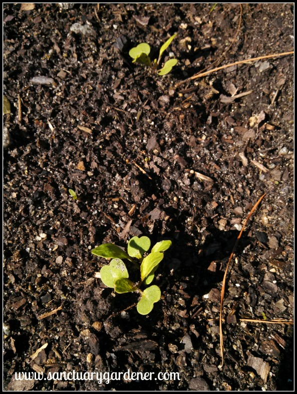 Arugula seedlings ~ after two ice storms