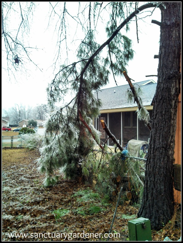 Winter Storm Pax ~ Pine limbs down in the yard behind mine