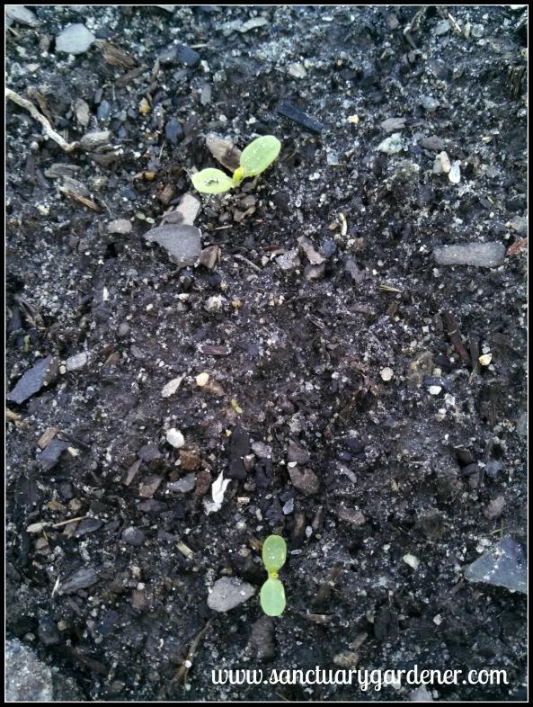 Buttercrunch lettuce seedlings