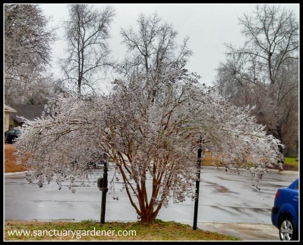 Winter Storm Pax ~ Crepe Myrtle 1