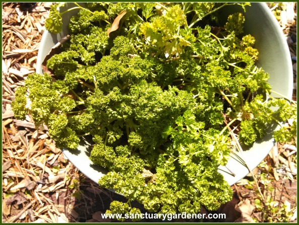 Curly parsley survived Winter Storm Leon