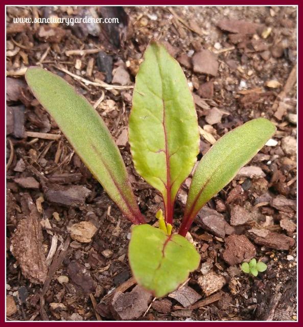Early Wonder beet seedling