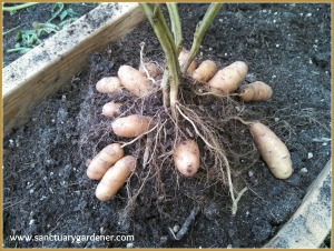 Fingerling potatoes being harvested
