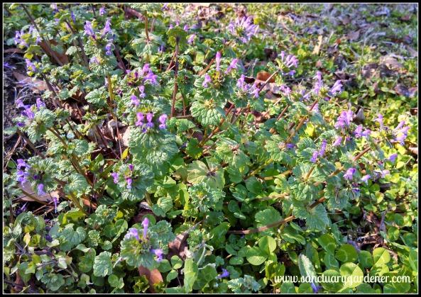 Henbit flowering