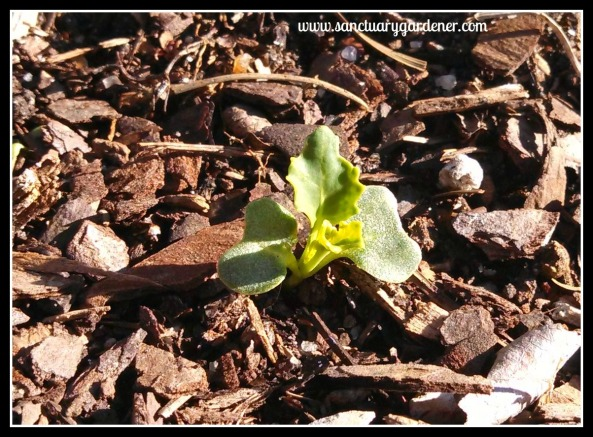 Kale seedling ~ after two ice storms
