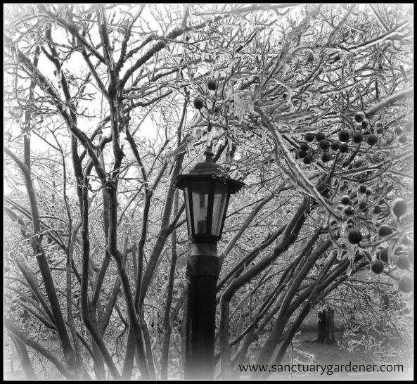 Lampost & crepe myrtle ~ Winter Storm Pax