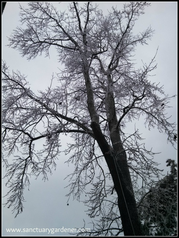 """Winter Storm Pax ~ Potential """"widow makers"""" on my gum tree"""