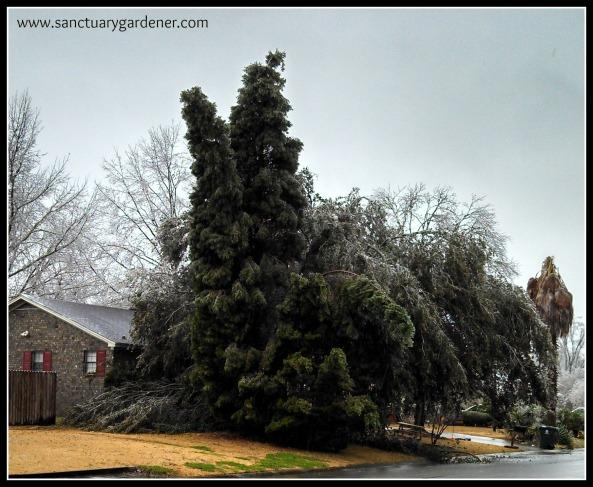 Winter Storm Pax ~ Neighbor's fir tree split