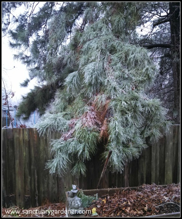 Winter Storm Pax ~ Pine bough over my compost bin