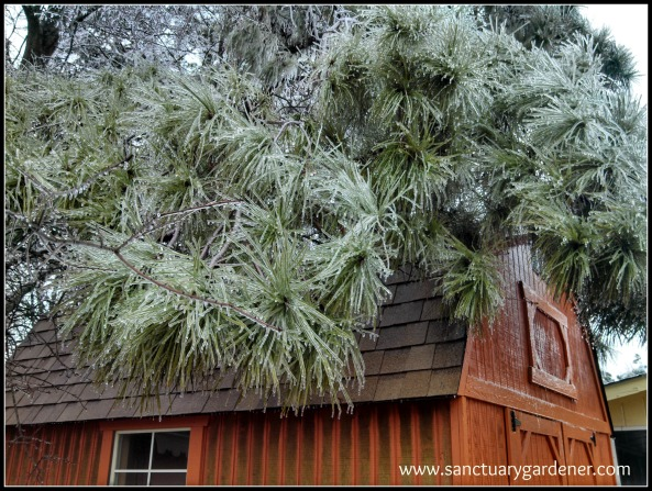 Winter Storm Pax ~ Icy pine bough over neighbor's shed
