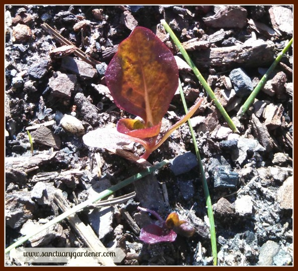 Red romaine lettuce seedling ~ after two ice storms
