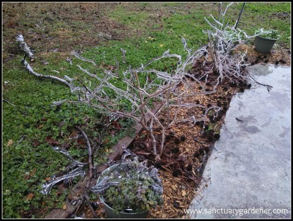Winter Storm Pax ~ Rocoto pepper plants and oregano