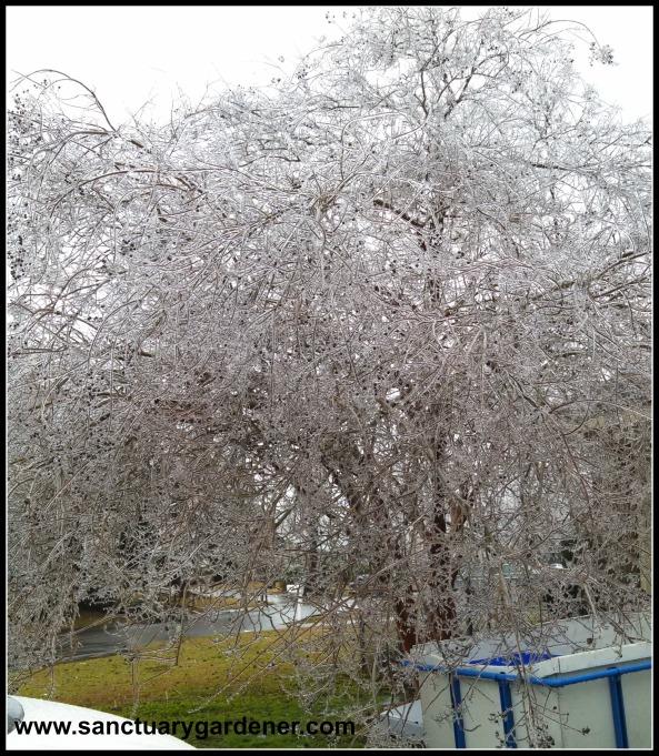 Winter Storm Pax ~ Crepe myrtle tree 2