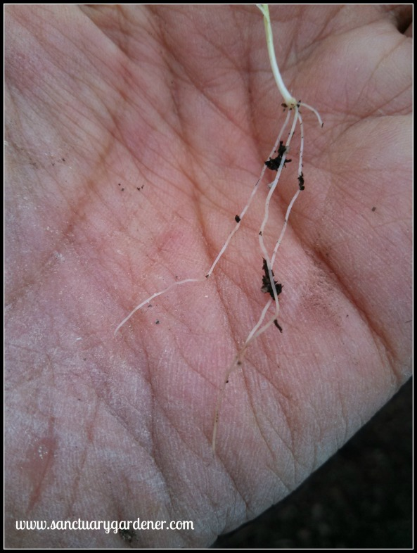 Texas Granex onion seedling root