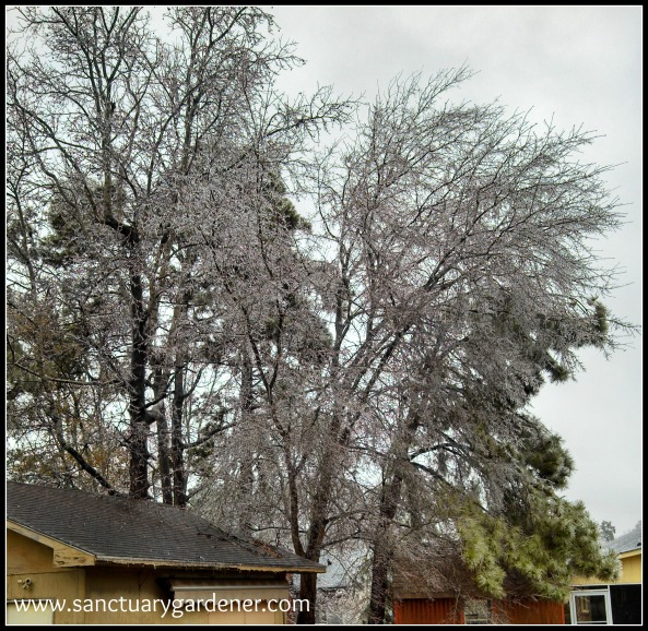 Winter Storm Pax ~ Oak trees behind my shed