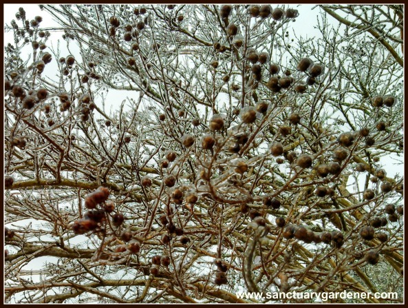 Crepe myrtle tree covered in ice from Winter Storm Leon