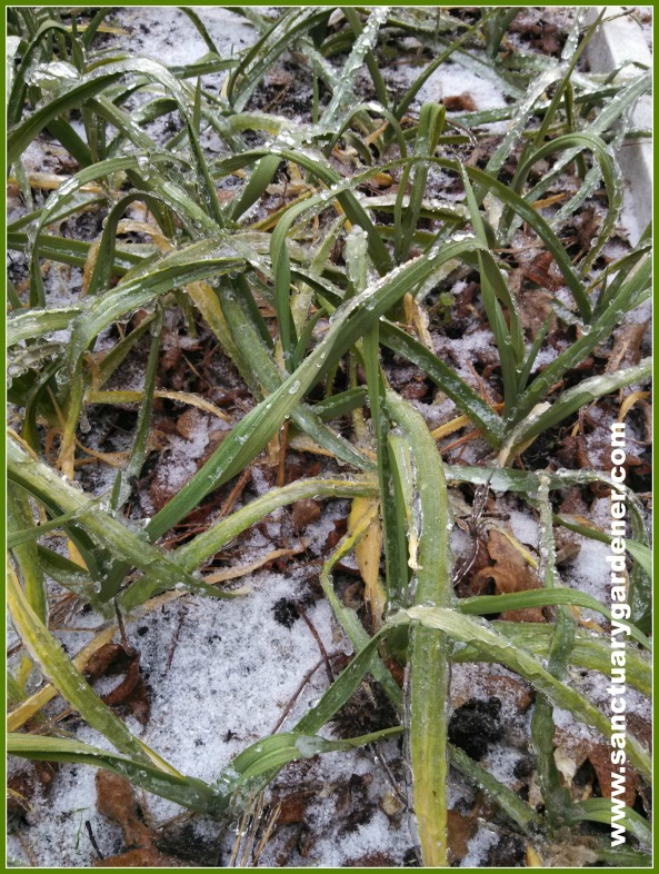Garlic dressed in snow from Winter Storm Leon