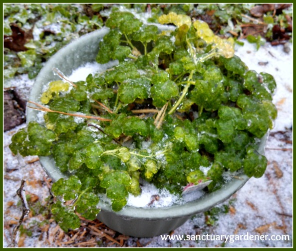 Frozen curly parsley after Winter Storm Leon