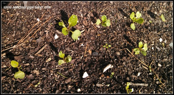 Watermelon radish seedlings ~ after two ice storms