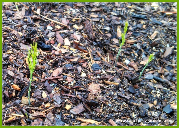 Mary Washington asparagus seedlings