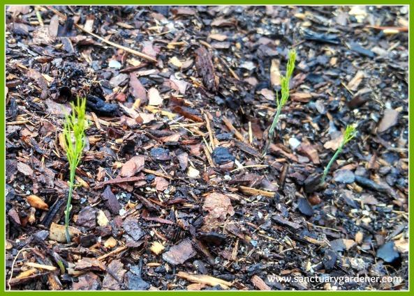 Mary Washington asparagus seedlings