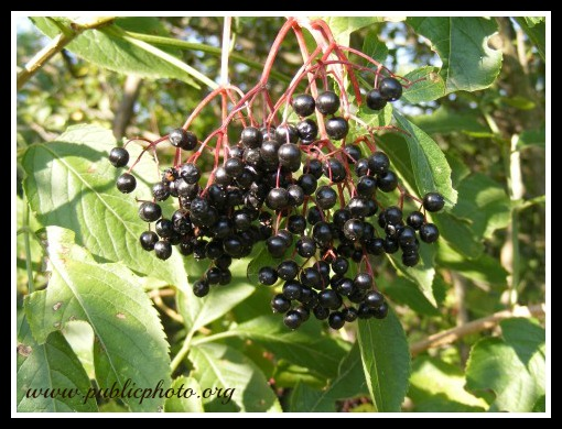 Black Elderberry fruit via publicphoto.org SG