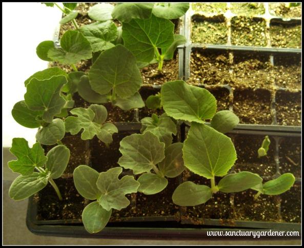 Cantaloupe (top left), white watermelon (bottom left), & honeydew melon (bottom right) seedlings ~ 13 days post planting