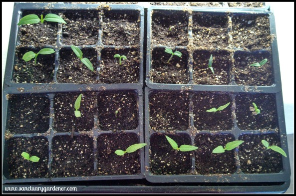 Cubanelle (bottom) & jalapeno (top) seedlings ~ 13 days post planting
