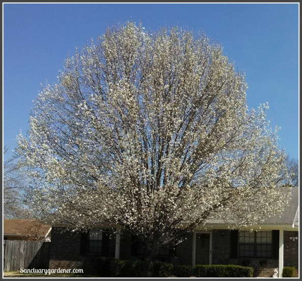 Dogwood tree beginning to bloom