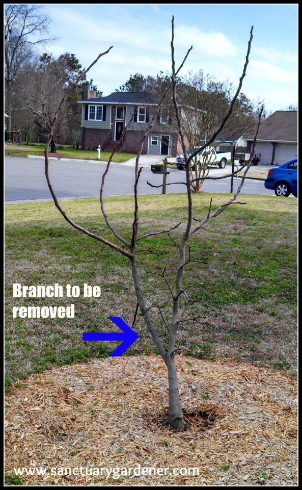 Celeste fig tree before pruning