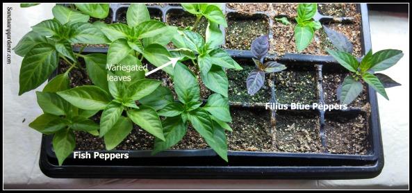 Fish pepper & Filius Blue pepper seedlings