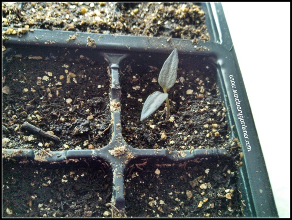 Filius blue pepper seedling ~ 13 days post planting